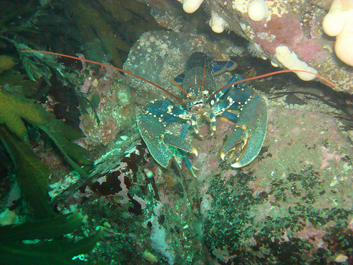 Hello There! Lobster in the Farne Islands, courtesy of Diving Karma